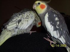 Dewey is singing and cleaning Scarlett. These are my cockatiels!!! I love them!!