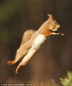 A red squirrel jumps with a nut in its mouth, in Cairngorms National Park