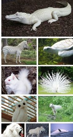 Rare albino animals from oldrose - References - . - Rare albino animals from oldrose – References – - The Animals, Nature Animals, Cute Baby Animals, Funny Animals, Black Animals, Rare Albino Animals, Unusual Animals, Beautiful Creatures, Animals Beautiful