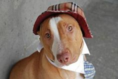 URGENT! TO BE DESTROYED - 01/13/14 Brooklyn Center -P My name is LEGACY. My Animal ID # is A0965037. I am a spayed female brown and white bull terrier mix. The shelter thinks I am about 1 YEAR 6 MONTHS old.I came in the shelter as a OWNER SUR on 12/30/2013 from NY 11375, owner surrender reason stated was NYCHA BAN. https://www.facebook.com/photo.php?fbid=610832135596336&set=a.161896980489856.39457.152876678058553&type=3&theater