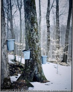 Sugaring season, the old-fasioned way.