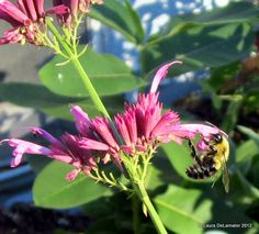 Bumble bee trying to get at the Agastache's good stuff. Bee Friendly Plants, How To Attract Birds, Beneficial Insects, Hummingbird, Cosy, Home And Garden, Mint, Cottage, Gardening