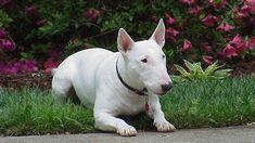 Si tienes un Bull terrier cuidado con su piel March 29 2018 at 01:18PM   Si tienes un Bull terrier cuidado con su piel  Míralo aquí: http://lealesorg.blogspot.com/2018/03/si-tienes-un-bull-terrier-cuidado-con.html #Difunde en #LealesOrg y #adopta para #AdoptaNoCompres O un #SeBusca de #perro o #gatos; #perdido o #encontrado Los Bull terrier es una de las razas más frecuentes en los hogares españoles. Sus cuidados son similares a los del resto de los perros en general aunque sí es cierto que…