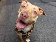 TO BE DESTROYED 06/12/14 Manhattan Center -P  My name is LINDEN. My Animal ID # is A1001087. I am a female tan and white pit bull mix. The shelter thinks I am about 1 YEAR 6 MONTHS old.  I came in the shelter as a STRAY on 05/26/2014 from NY 11212, owner surrender reason stated was STRAY.  https://www.facebook.com/photo.php?fbid=812626795416868&set=a.611290788883804.1073741851.152876678058553&type=3&theater