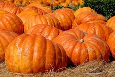 Atlantic Giant Pumpkin Seeds – These Are the Record Breaking Pumpkins! Planting Pumpkin Seeds, Giant Pumpkin Seeds, Pumpkin Field, Pumpkin Garden, Pumpkin Baby, Fruit Seeds, Tomato Seeds, Fall Vegetables, Organic Vegetables