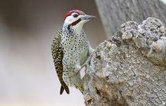 Bennett's Woodpecker (Campethera bennettii) | Flickr - Photo Sharing!