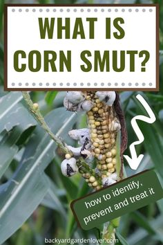 Have you seen some silvery-white tumor-like swellings on your corn? That is called smut, and while it's a treat in Mexico, most of us don't want it on our corn harvest. Here's a quick guide to help you identify, treat, and prevent it from attacking your corn. #cornsmut #fungus #gardendiseases #gardening #homesteading #corn #cornharvest Gardening For Beginners, Gardening Tips, Get Rid Of Corns, Plants That Repel Bugs, Popular House Plants, Corn Crop, Easy Garden, Garden Ideas