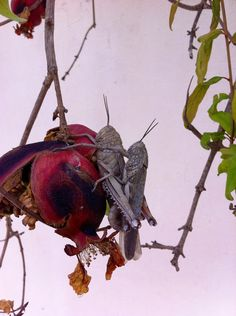 Two crickets in love on pomegranate