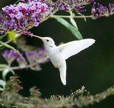 White Hummingbird