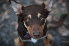 A red Luxie Australian Shepherds, Blue German Shepherd, German Shepherd Puppies, West Highland Terrier, Scottish Terrier, Rottweiler, Animals For Kids, Baby Animals, Husky