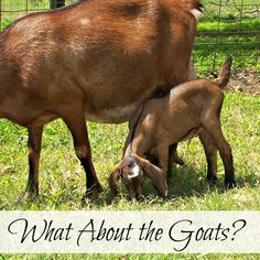 What About the Goats? Oak Hill Homestead
