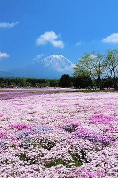 Mt. Fuji and pink field, Yamanashi, Japan    www.facebook.com/loveswish