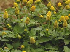 Acmella oleracea, often known by its former scientific name Spilanthes, is a unique flower in the Asteraceae family. It has many common names, including electric daisy and toothache plant. These stem from the fact that the plant contains numbing.