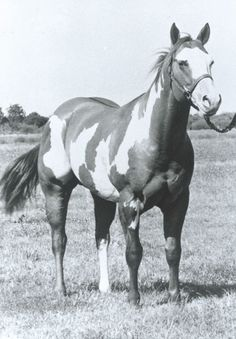 In honor of the American Paint Horse Association's 50th anniversary in 2012, HorseChannel.com is featuring some famous horses from the breed's history.