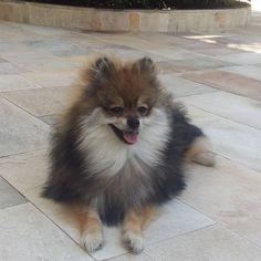 Pelos ao vento 🐶#pomeranian #pomeraniansofinstagram #spitzalemao #luludapomerania #pomeranianpuppy #spitzpuppy #ilovemydog #lovedog #pomeranianworld #instadog #dogs #spitzalemaobrasil