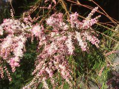 Heidegewächs rosa Dandelion, Flowers, Plants, Pink, Pagan, Florals, Photo Illustration, Dandelions, Plant