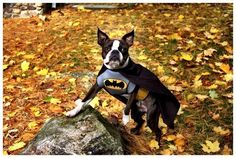 Did you Know that Batman has a Dog?! It's a Boston Terrier!!