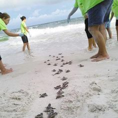 Turtles make their way to the beaches of Hilton Head Island.  Come visit us - http://www.vthhi.com for vacation rentals and villas.
