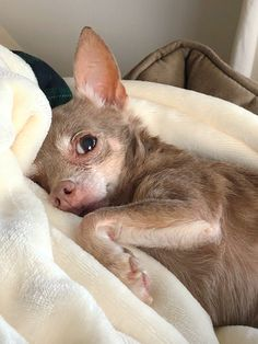 Training Chihuahuas with Praise and Affection - The Pooch Online Cute Puppies, Cute Dogs, Dogs And Puppies, Animals And Pets, Funny Animals, Cute Animals, Huge Cat, Baby Chihuahua, My Animal