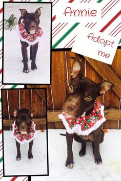 Fort Worth, TX: Annie is still looking for a forever home. She is a pocket pit, and only weighs 38 lbs. She is great with other dogs and children. Almost completely potty trained. She knows how to sit and shake. She is a joy to have around. Let's find her a forever home for the new year. for more information check Alix's Pit Bulls on Facebook. https://www.facebook.com/AlixsPitBulls