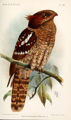 Dulit Frogmouth (Batrachostomus harterti) - Catalogue of the Birds in the British Museum