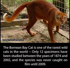 The Bornean Bay Cat - Imgur