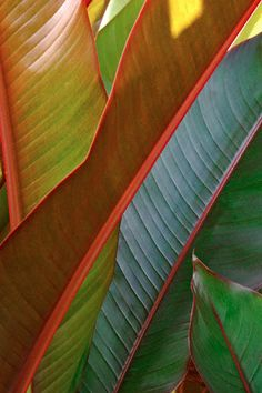 . . . how a banana leaf can be so colourful and beautiful . . . nature's amazing