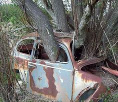 An old Volkswagen Beetle being eaten by rust and swallowed up by a willow tree.