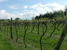 Local Minnesota winery - walk the vines and taste the wines!