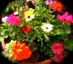 Bright and Colorful Geranium Combo.  Full Sun Annual Flower Container