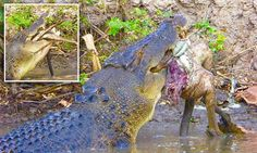Head tour guide Dave McMahon was taking a group from Melbourne around Corroboree Billabong, in Darwin, when he spotted a five-metre crocodile devouring a helpless wallaby. Alligators, Crocodiles, Crocodile Pictures, Meanwhile In Australia, Saltwater Crocodile, Darwin, Prehistoric, Reptiles, Hanging Out
