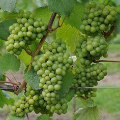 How To Plant, Grow & Train Grape Vines