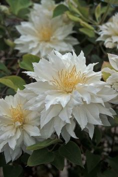 **Clematis 'Arctic Queen'. White double with yellow centers