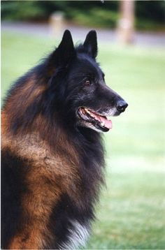 Most Inspiring Cuby Chubby Adorable Dog - dfa69da99360011b844870acb5221c28--belgian-shepherd-shepherd-dogs  Pic_205035  .jpg