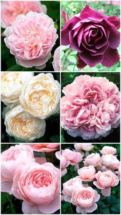 Øverst fra venstre ses den engelske rose 'Eglantyne' efterfulgt af den mørke 'Burgundy ice'. Den cremede 'Glamis castle' og historiske 'Jacques cartier' Nederst er den kuglerunde Austin-rose 'Queen of sweden'