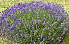 Miss Muffet = Scholmis A really compact little plant with faintly scented mid-purple flowers. Grey-green foliage. Height 30cm (12in). Introduced in 1999. Size: 9cm pot.  (Very hardy lavender  angustifolia) EG