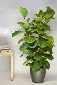 Houston\'s online indoor plant & pot store - Extra Large Ficus Alii ...