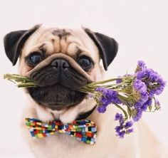 Exactly what if you threw a pug party and EVERYBODY came. with their pugs? Amor Pug, Cute Pug Puppies, Cute Dogs, Doggies, Terrier Puppies, Lab Puppies, Bull Terriers, Bulldog Puppies, Boston Terrier