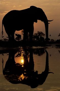 Beautiful elephant at sunset in Botswana, Africa. Travel to Botswana with SEVENTH SENSE DMC. A member of GONDWANA DMCS - your network of boutique Destination Management Companies for travel to all the exotic corners of this world - www.gondwana-dmcs.net