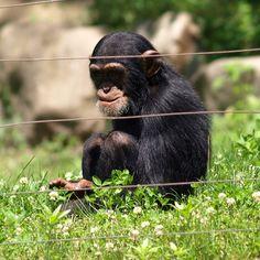 Baby chimp at Southwicks. #chimp #animal #ipod #iphone #zoo #instagram #instadaily
