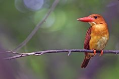 Ruddy Kingfisher by Young Sung Bae on 500px