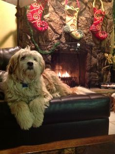 Christmas Eve with Koko Tibetan Terrier, All Dogs, Terriers, Christmas Eve, Dog Cat, Heaven, Cats, Pets, Dogs