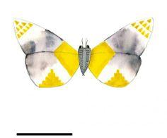 Wolfgangium Laibiae  Papillons de collection | Le Cabinet de curiosités www.facebook.com/...