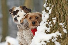 Terrier trio - want them all! Love My Dog, All Dogs, Dogs And Puppies, Doggies, Chien Fox Terrier, Animals Beautiful, Cute Animals, Majestic Animals, Snow Dogs