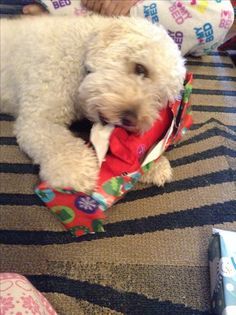 First Christmas she eats the toy with the wrapping on