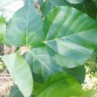 MEDICINAL PLANTS: 46. Dadap Serep (Erythirna subumbrans(Hask.) Me...
