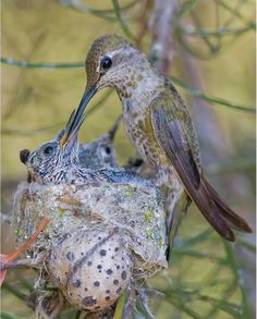 Anna's Hummingbird feeding her 15-day old chicks. (Mike Spinak)