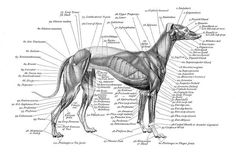 The Major Of Loss Of Performance in the racing greyhound is injury. A Good chaser can carry a minor injury and still perform well. Eventually one injury leads to another with a gradual progressive reduction in performance. The loss of a balanced gait caused by the minor injuries results in a torn muscle, fractured bone, or damaged joint. Recurring sprains can cause joints to become unstable and may lead to Arthritis. Sprains can be difficult to heal, often more so than a fracture.