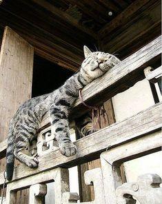 - Tabby Cat - Ideas of Tabby Cat - Qui dort dîne . The post Qui dort dîne . appeared first on Cat Gig. Photo Chat, Sleepy Cat, Cat Sleeping, Beautiful Cats, Cat Life, Crazy Cats, Crazy Dog, Cool Cats, Pet Birds