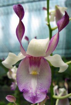 Rare orchid species - Dendrobium Taurinum (Seedling) | eBay Ugh, love orchids.